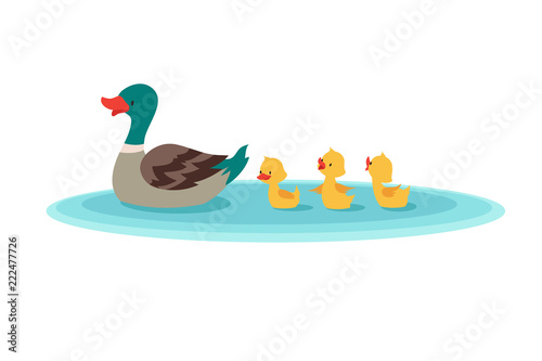 Mother duck and little ducks in water Fototapeta