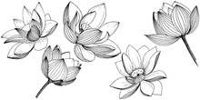 Vector Lotus Flower. Floral Bo...