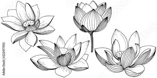 Photographie  Vector lotus flower