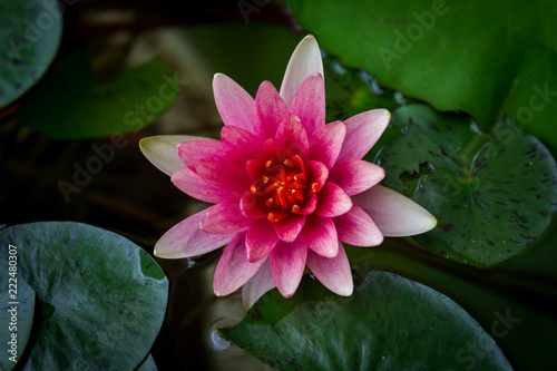 Staande foto Lotusbloem A beautiful pink waterlily or lotus flower in pond