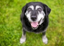 A Senior Retriever Mixed Breed Dog Sitting Outdoors, Looking Up At The Camera With A Happy Expression