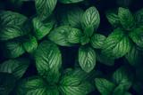 Zielone liście mięty w tle