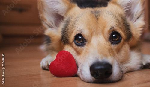 fototapeta na lodówkę A dog with a red heart. Valentine's Day.