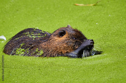 Photo  Nutria frisst Algen im Wasser mit den Händen