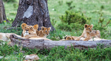 Lion Family, With Small Cubs, ...