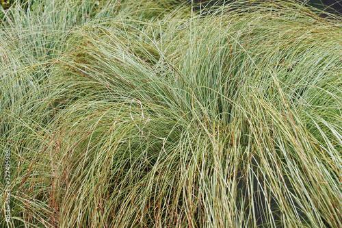 Fototapeta Striped Japanese sedge silk tassel (Carex morrowii var. temnolepsis). obraz