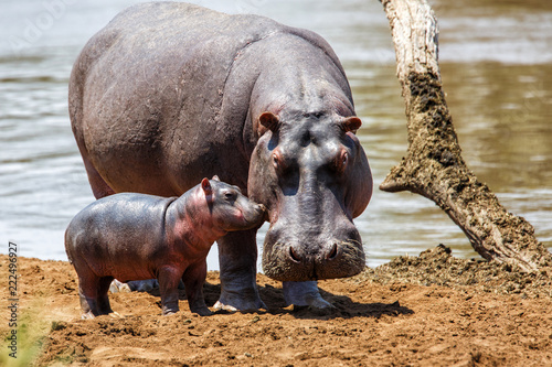 Hippo mother with her baby in the Masai Mara National Park in Kenya Poster Mural XXL