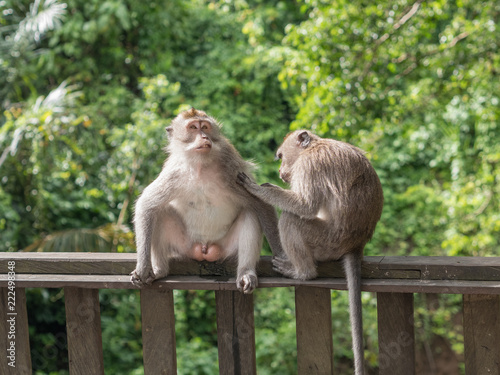 Spoed Foto op Canvas Aap Macaca fascicularis in monkey forest of Ubud, Bali, Indonesia