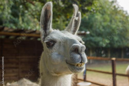 Staande foto Lama muzzle of a smiling llama with teeth