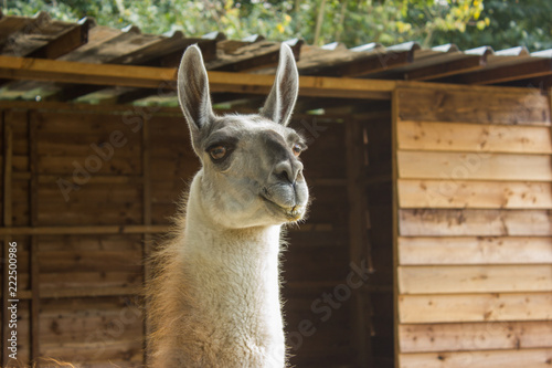 Staande foto Lama muzzle of a smiling llama with teeth