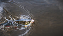 Chub On The Hook. Fly Fishing.