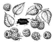 Raspberry Vector Drawing. Isol...