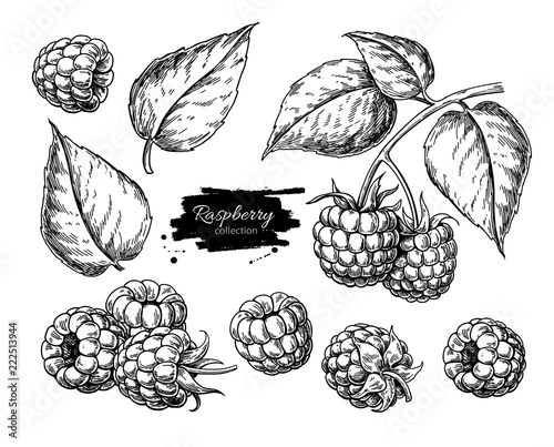 Cuadros en Lienzo Raspberry vector drawing. Isolated berry branch sketch on white