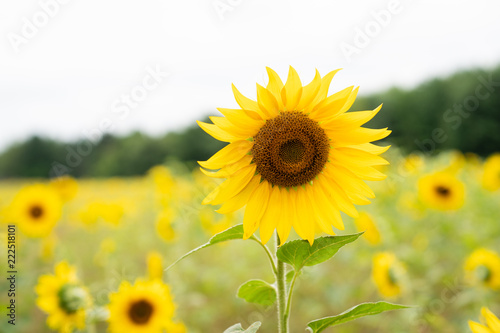 Close up of sunflowers growing in field
