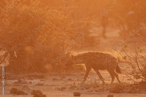 Photo  Hyena in Chobe National Park