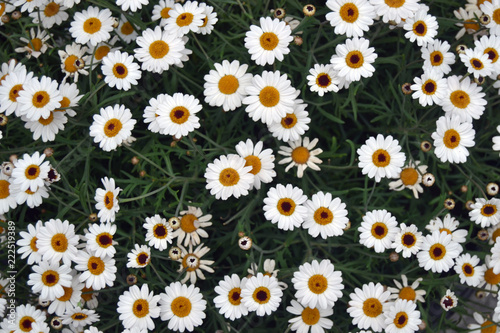 Foto op Canvas Madeliefjes daisy flowers background.
