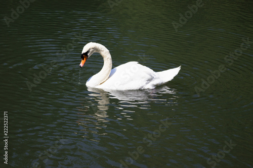 Foto op Canvas Zwaan A white swan swimming in a pond