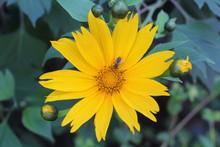 Bee Visiting Arnica Flower