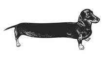 Dachshund Long Dog. Black And White Hand Drawing