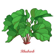 Vector Bush With Outline Rhubarb Or Rheum Vegetable In Green Isolated On White Background. Ornate Leaf Of Rhubarb Bunch In Contour Style For Organic Food Or Medicinal Design.