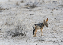 Schakal, Namibia