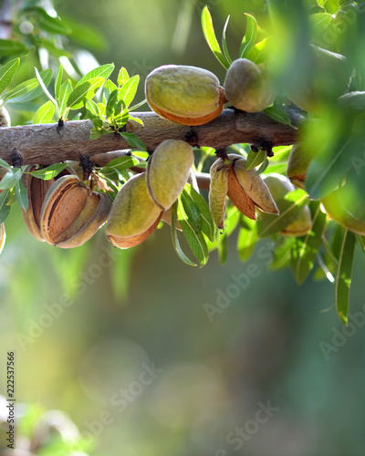 ready to havest almonds Canvas Print