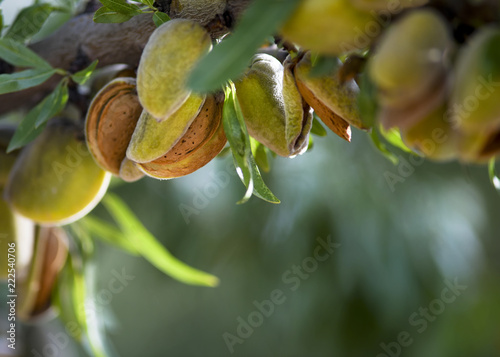 almond harvest Canvas Print