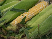 One Husked Ear Of Yellow And White Sweet Corn Sitting Between Several Green Unhusked Ears With Silk