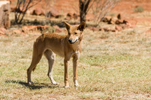 A Wild Australian Dingo In The...