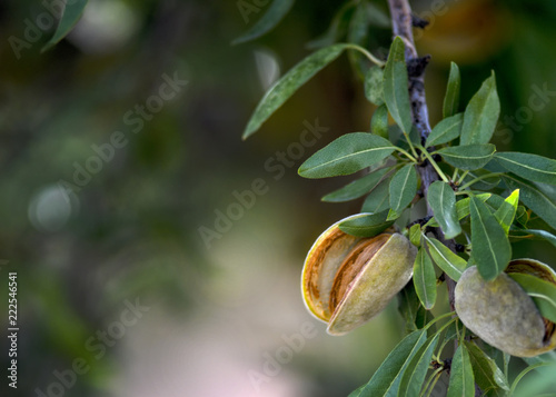 Slika na platnu ripe almonds ready for harvest