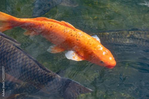 Fotografie, Obraz  池の鯉と水紋21