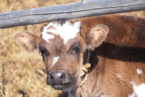 Deurstickers Ezel brown calf