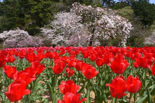 Keuken foto achterwand Rood traf. 満開の桜とチューリンプのコラボ