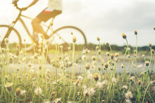 People Ride Bicycle In Evening With Sunset And Sunlight.Selective Focus A Little Flower Beside Road In Front.