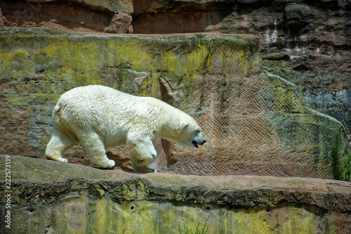 Tuinposter Ijsbeer big fearsome polar bear on a hot summer day