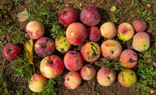 Fallen Apples In A Pile