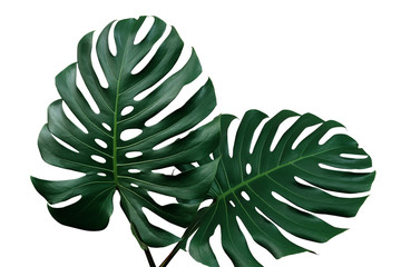 Dark green leaves of monstera or split-leaf philodendron (Monstera deliciosa) the tropical foliage houseplant isolated on white background, clipping path included.