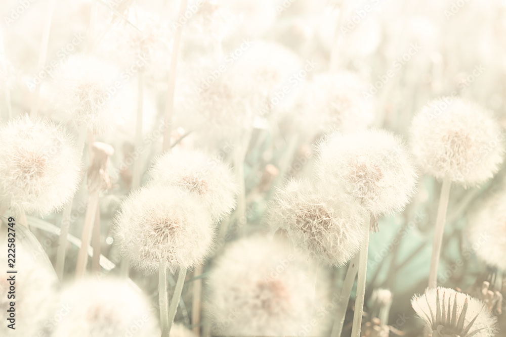 Fototapety, obrazy: Dreamy dandelions blowball flowers against sunset. Pastel golden toned. Macro with soft focus. Delicate transparent airy elegant artistic image of spring. Nature greeting card background