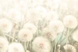 Marzycielskie dmuchawce dmuchające kwiaty przed zachodem słońca. Pastelowy złoty ton. Makro z nieostrością. Delikatny przejrzysty zwiewny elegancki artystyczny obraz wiosny. Tle kartkę z życzeniami przyrody - 222582749