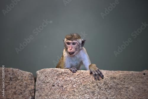 Foto op Canvas Aap a cheeky Monkey
