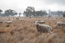 Sheep In An Australian Field