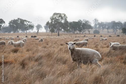 Sheep in an Australian Field Tapéta, Fotótapéta