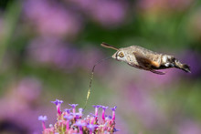 Closeup Of A Hummingbird Hawk-moth 02