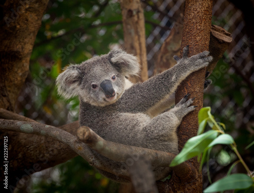 Staande foto Koala Baby koala bear.