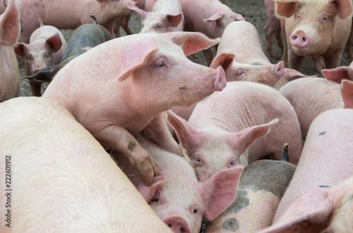 The farm pigs. Livestock breeding.