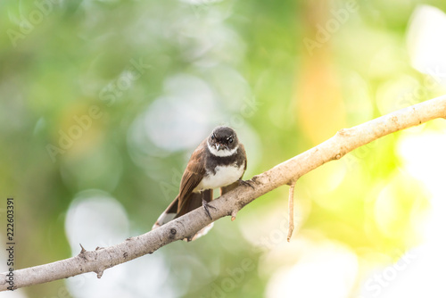 Bird (Malaysian Pied Fantail) in a nature wild