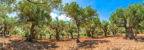 Cuadros en Lienzo Plantation agriculture of olive grove field landscape panorama
