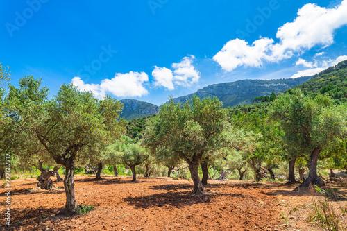 Oliven Baum Plantage Acker Feld Mediterran Landschaft