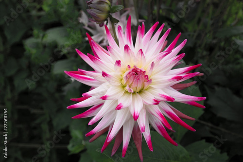 Staande foto Dahlia Close-up of pink and white flower of the Dahlia Jura plant