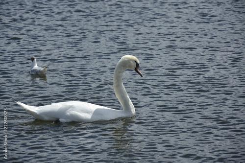 Foto op Aluminium Zwaan Swan swimming in the lake